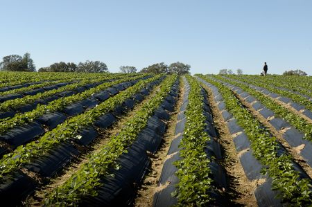 Field Of Strawberries Under Clear Sky photo