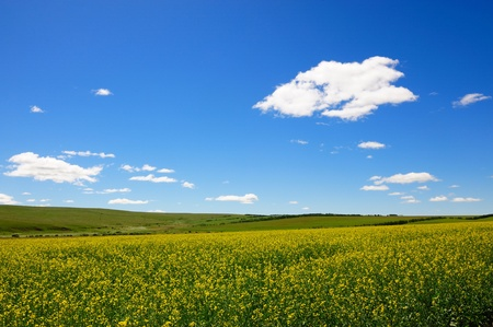 Landscape of rape flowers field in the sunlight in Hulun Buir League of Inner-Mongolia, China photo