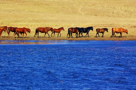 Horses by the lake in Bashang grassland, Hebei, China. Bashang Grassland stretches from northern Hebei province into Inner Mongolia in China photo