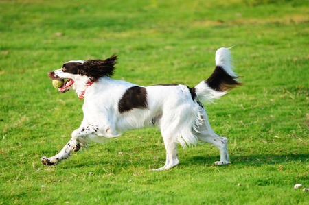 springer: A springer dog running on the lawn Stock Photo