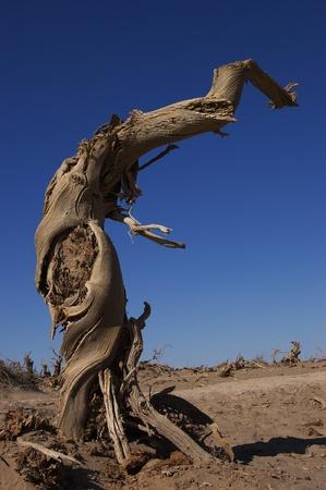 Dead tree of diversifolia populus in the desert photo