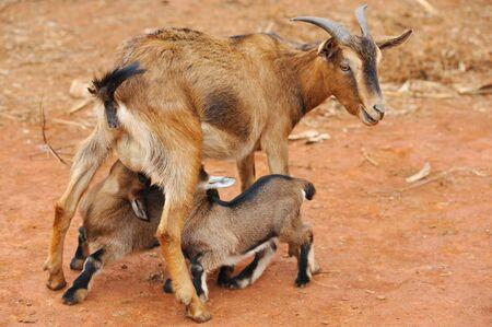 Mother goat feeding little goats photo