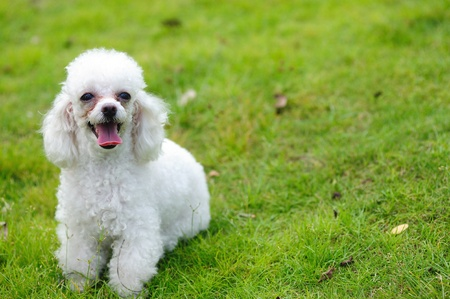 dog toy: A little toy poodle dog standing on the lawn Stock Photo