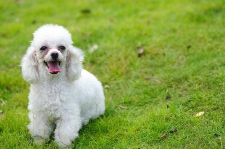miniature breed: Un poco permanente de perro caniche de juguete en el c�sped