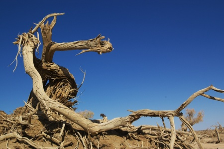 Dead tree of diversifolia populus in the desert of China photo
