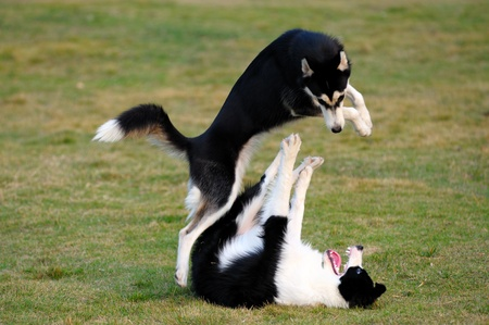 fiercely: Two dogs playing on the lawn in the park