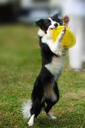 Border collie dog standing and holding a dish in mouth photo