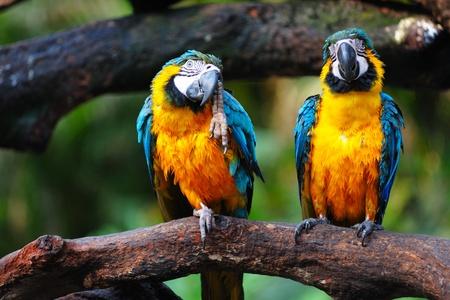 ¡rboles con pajaros: Dos pájaros de Parrot permanente de lado a lado