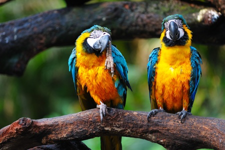 Two Parrot birds standing side by side