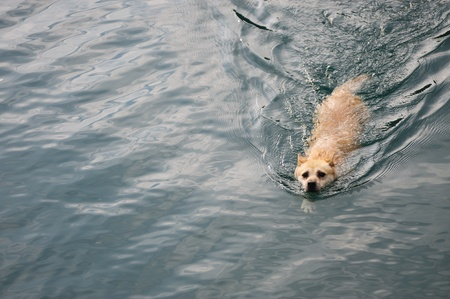 A dog swimming in the river Stock Photo - 8435850