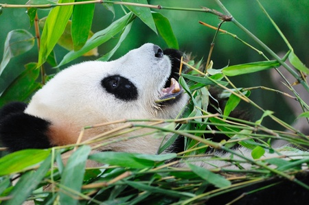 A giant panda lying on the ground and eating bamboo Stock Photo