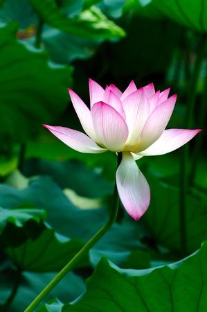 flor loto: Flor de loto florece en la piscina