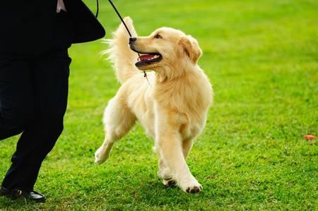 show dog: Master playing with his little golden retriever dog on the lawn Stock Photo