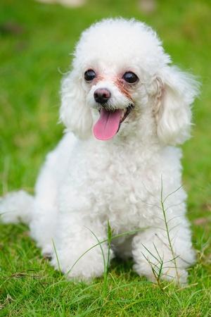 Un poco permanente de perro caniche de juguete en el césped Foto de archivo