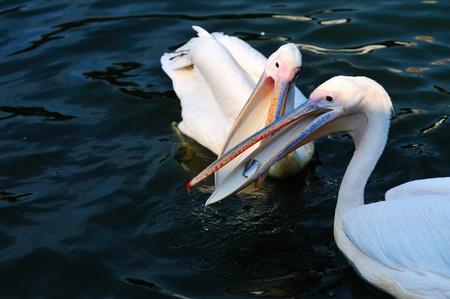 scrambling: Due pellicani scramble per alimentare nel lago Archivio Fotografico