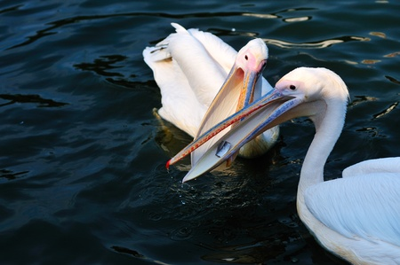 scramble: Two pelicans scramble for food in the lake Stock Photo