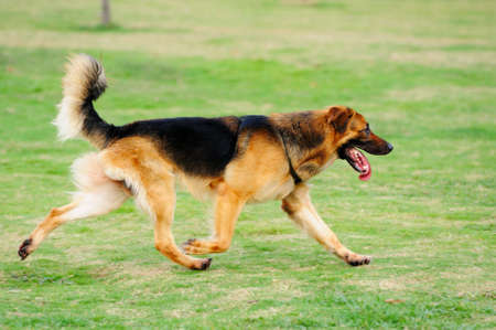 A German Shepard running on the lawn Stock Photo - 8498821