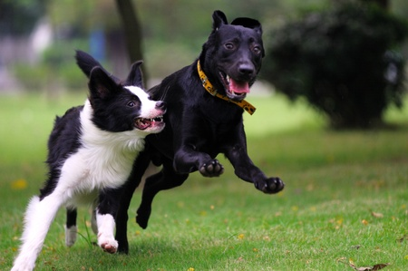 Two dogs racing on the lawn in the park Stock Photo - 8498820
