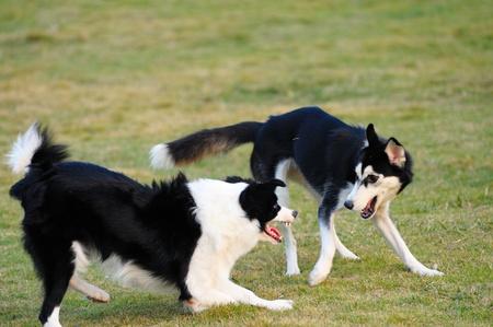 perros jugando: Dos perros jugando en el jard�n en el Parque Foto de archivo