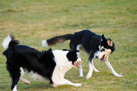 scamper: Two dogs playing on the lawn in the park
