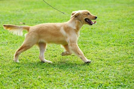 Little golden retriever dog running Stock Photo - 8595281