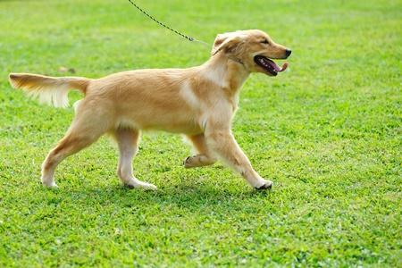 perro corriendo: Perrito de golden retriever en ejecuci�n Foto de archivo