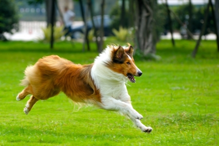 Collie dog running on the lawn