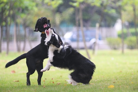 fiercely: Dogs fighting on the lawn in the park Stock Photo