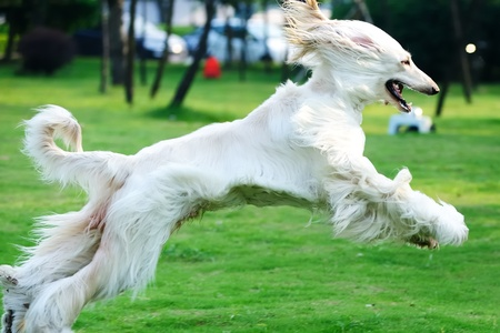 Afghan hound dog running on the lawn Stock Photo - 8625675