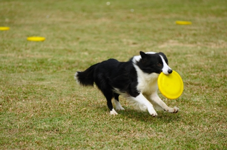 show dog: Border collie dog running and hold a dish in mouth Stock Photo
