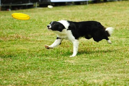 perro corriendo: Ejecuci�n de perro collie de la frontera y mantenga un plato en boca Foto de archivo
