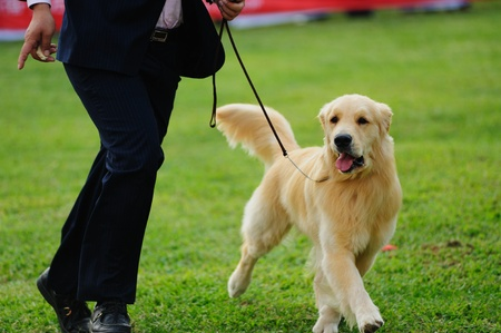 Master playing with his little golden retriever dog on the lawn photo