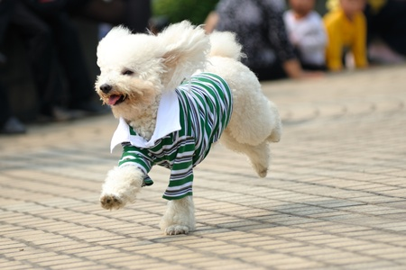 Little toy poodle dog running on the ground