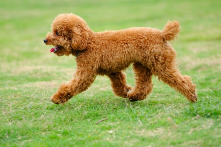 Lovely little toy poodle dog running on the lawn