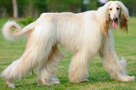 show dog: An afghan hound dog walking on the lawn