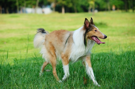 Collie rough dog running on the lawn Stock Photo - 9019109