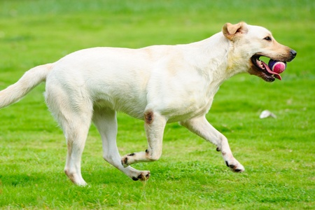 White labrador dog holding a ball and running on the lawn Stock Photo - 9019107