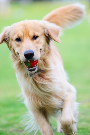 dog pose: Golden retriever dog running on the lawn