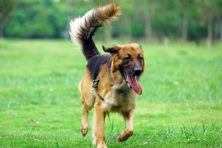 German Shepard running on the lawn Stock Photo - 9090744