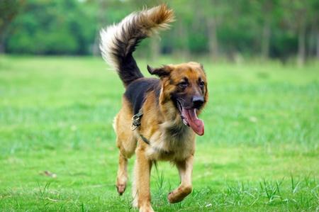 German Shepard running on the lawn Stock Photo - 9090744