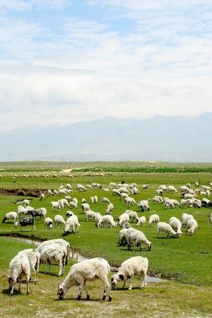 ch�vre: Ch�vres broutant dans la prairie dans la province du qinghai, Chine