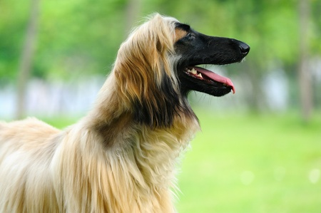 An afghan hound dog standing on the lawn photo