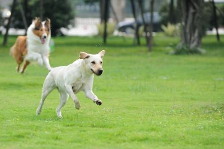 perro corriendo: Dos perros corriendo y persiguiendo en el jard�n