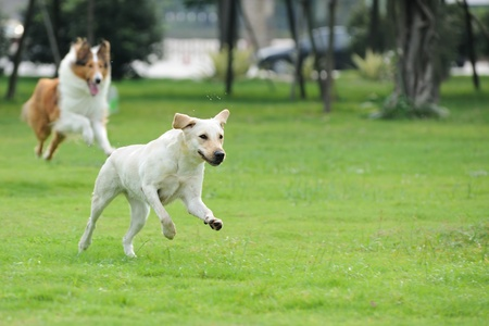 scamper: Two dog running and chasing on the lawn Stock Photo