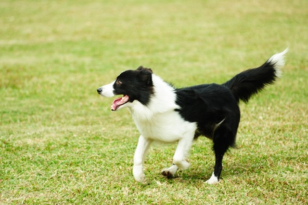 collie: Border collie dog running on the lawn Stock Photo