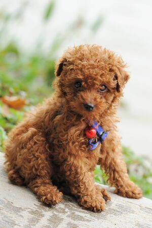 A little toy poodle dog sitting on the ground Stock Photo