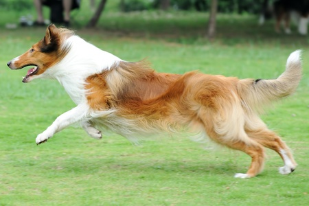 Collie dog running on the lawn Stock Photo - 9185066