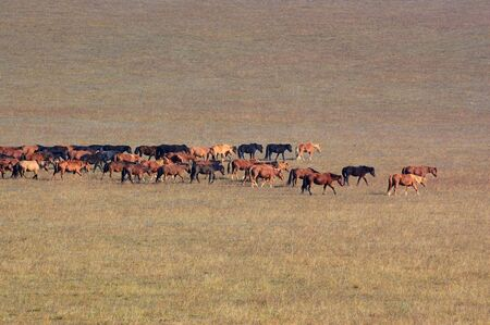 Group of horses in Bashang grassland, Hebei, China photo