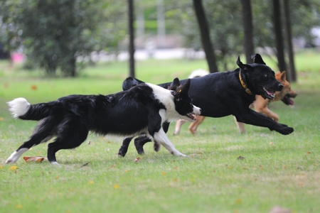 Dogs running together on the lawn photo