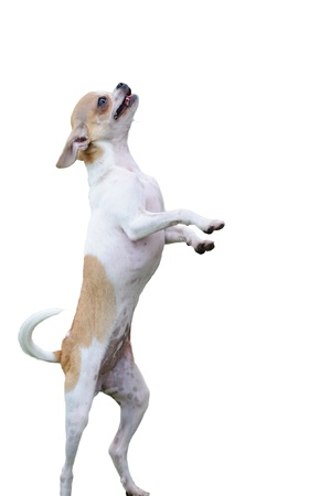 chihuahua dog: Chihuahua dog standing on two legs isolated on white background